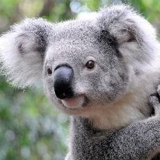 チャレンジホームステイオーストラリアのコアラ