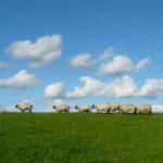 sheeps_webmain